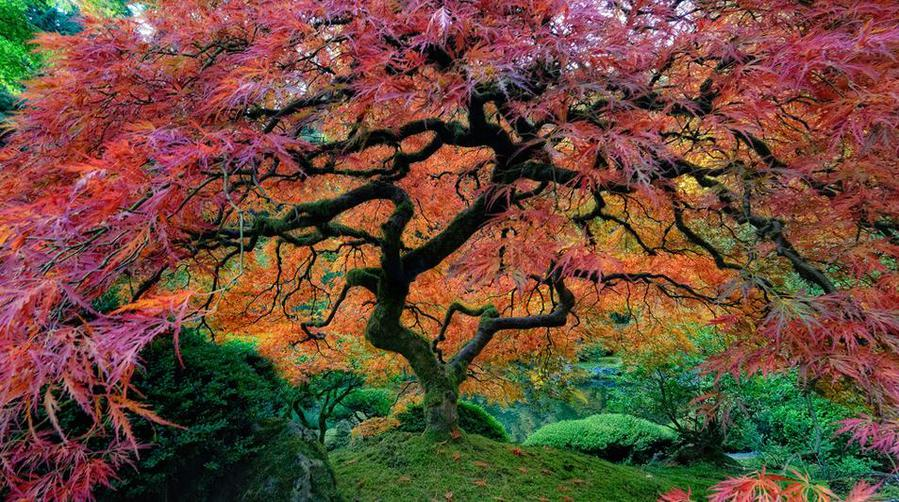 Этот клён растёт в японском саду города Портленда (США)