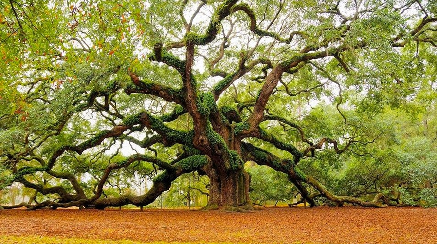 Старый дуб, Чарлстон