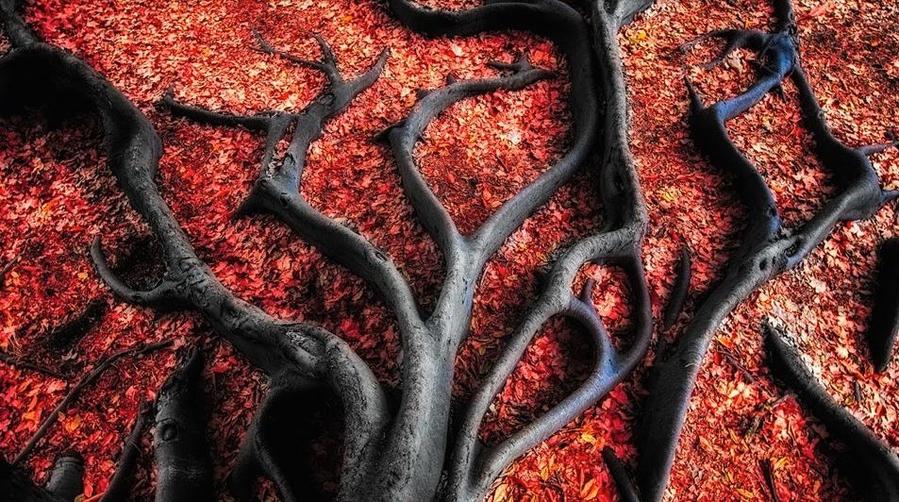 Чёрные корни в красных листьях