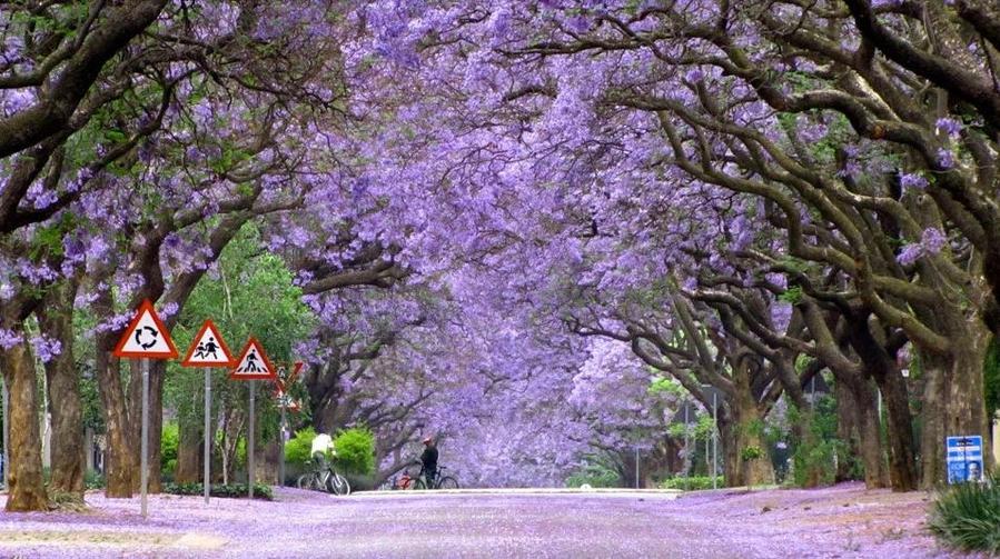 Палисандровое дерево в цвету, Южная Африка