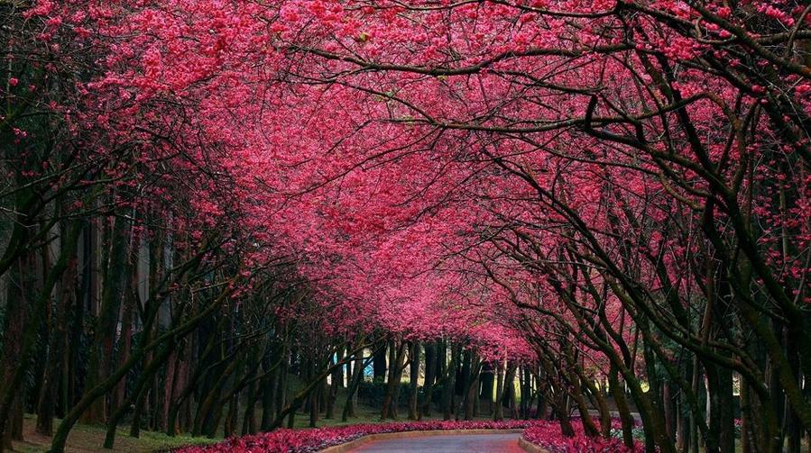 Цветущая вишня над дорогой