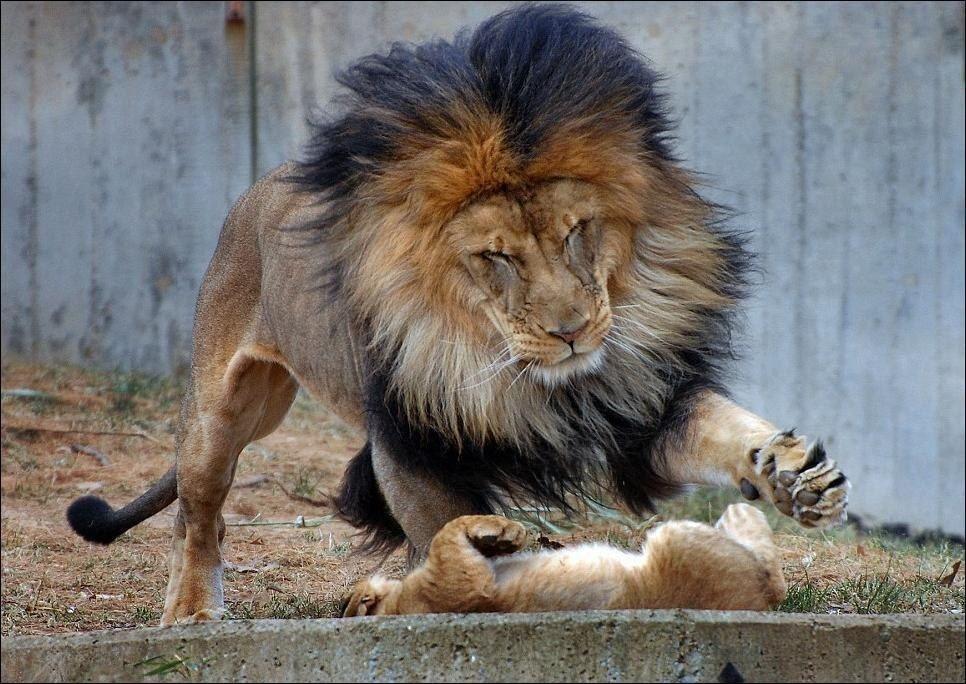 Лев и... львиная семья